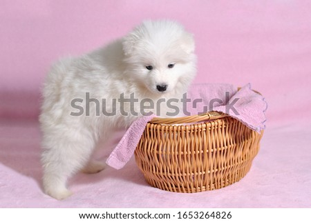 Little cute samoyed white dog puppy in the wicker basket on the light pink background. Animal babies picture card. Lovely adorable fluffy pets. Lush fur