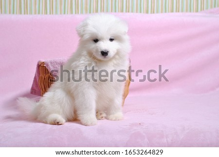 Little cute samoyed white dog puppy on the light pink background. Animal babies picture card. Lovely adorable fluffy pets. Lush fur
