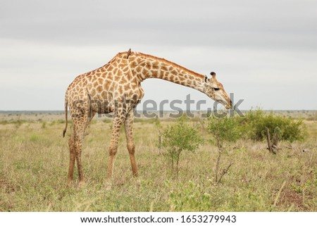 A giraffe in a field covered in greenery under a cloudy sky with a blurry background