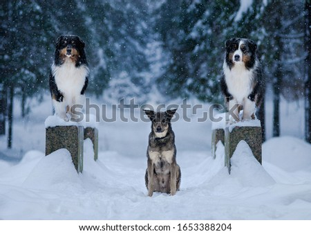 Winter forest, Blizzard, snowfall, high snowdrifts and dogs, breeds of Australian shepherd, Aussie, as guards sit on the bridge, and in the center of the mongrel