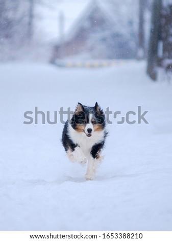 Winter forest, Blizzard, snowfall, high snowdrifts and a dog, a breed of Australian shepherd, Aussie, runs along a snow path to meet