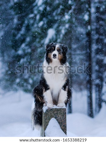 Winter forest, Blizzard, snowfall, high snowdrifts and a dog, Australian shepherd breed, Aussie, sits beautifully on a rock