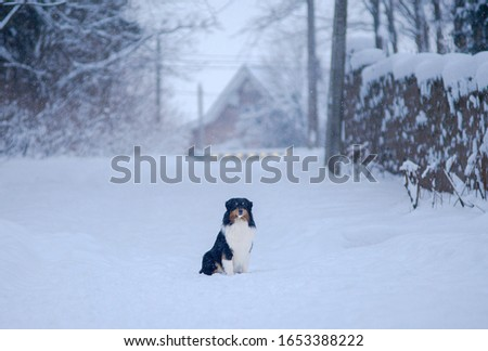 Winter forest, Blizzard, snowfall, high snowdrifts and a dog breed Australian shepherd, Aussie, sits beautifully on a snow path surrounded by snow trees