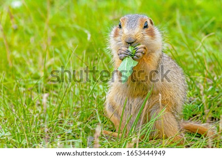 funny gopher sitting in a meadow eating grass seeds, gopher on the lawn on a warm Sunny day in summer, close-up