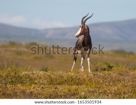 A Bontebok staring out over the South African plains #1653501934