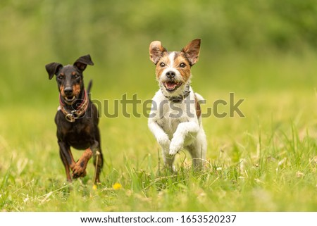 Parson Russell Terrier and black Manchester Terrier Dog. Two small beauty friendly dog are running together over a green meadow #1653520237