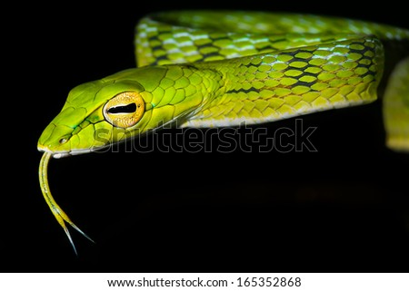 Oriental Whipsnake or Asian Vine Snake (Ahaetulla prasina) hunts at night by hanging from a tree in the jungles of Borneo. This long, slender snake waits patiently to ambush passing or sleeping prey. Royalty-Free Stock Photo #165352868