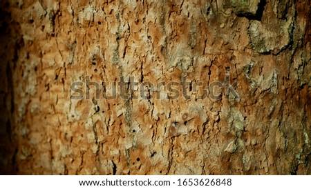 Bark beetle pest deciduous oak forests Europe infested drought dry attacked Xyleborus monographus ambrosia, Scolytus intricatus and Platypus cylindrus oak pinhole borer, larvae burrow