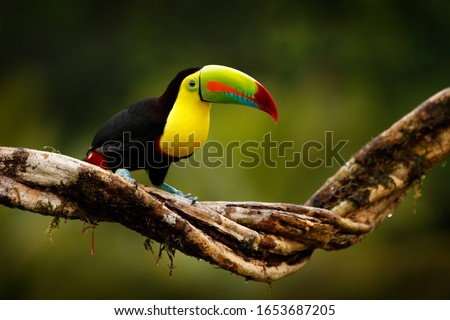 Tropic bird from Guatemala. Keel-billed Toucan, Ramphastos sulfuratus, bird with big bill sitting on branch in the forest. Nature travel in central America. Beautiful bird in nature habita #1653687205