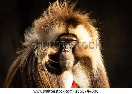 Adult Male Gelada baboon
