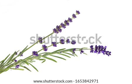Lavender flowers in closeup. Bunch of lavender flowers isolated over white background. Awesome top view with purple lavender flowers close-up isolated on white background. #1653842971
