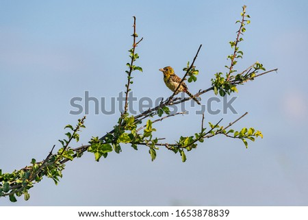 D'Arnaud's barbet, a small East African bird, perched on branch, Kenya.  Profile view. Copy space. #1653878839