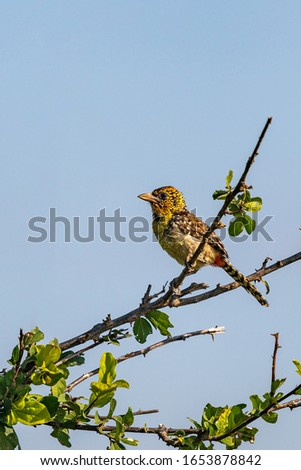 D'Arnaud's barbet, a small East African bird, perched on branch, Kenya.  Profile view. Copy space. #1653878842