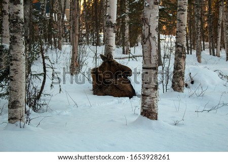 An evening picture of a moose taking a rest in the snow during winter.