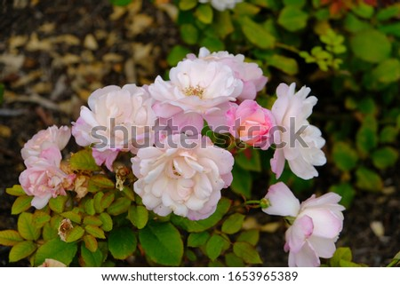 A rose is a woody perennial flowering plant of the genus Rosa, in the family Rosaceae. They form a group of plants that can be erect shrubs, climbing, or trailing, with stems that are often armed. #1653965389