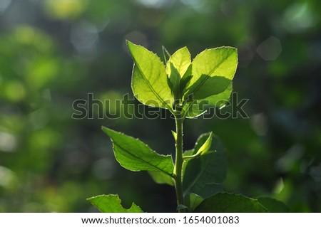 Green leaf back light in the morning #1654001083