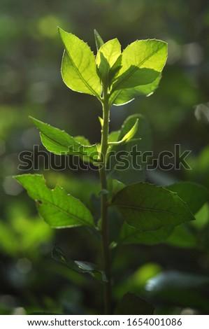 Green leaf back light in the morning #1654001086