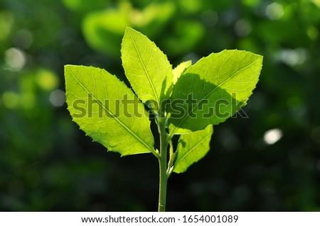 Green leaf back light in the morning #1654001089