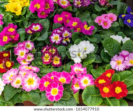 Primula primrose blossom bloom background backdrop design. Red pink maroon burgundy cultivated flower blooming. Primula primrose in a pot top view