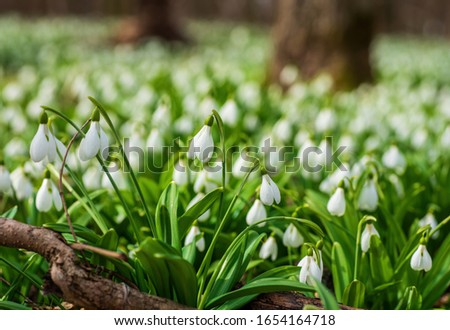 Carpet of snowdrops Galanthus plicatus in sunny spring forest #1654164718