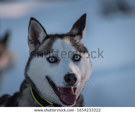 Picture of a young Siberian husky smiling
