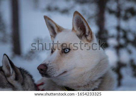 Portrait of a white Siberian Husky looking off to the left of the picture