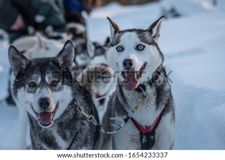 Picture of a team of Siberian Huskies ready to run.