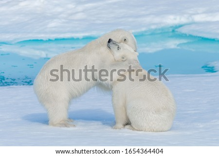 Two young cute wild polar bear cubs hugging on pack ice in Arctic sea #1654364404
