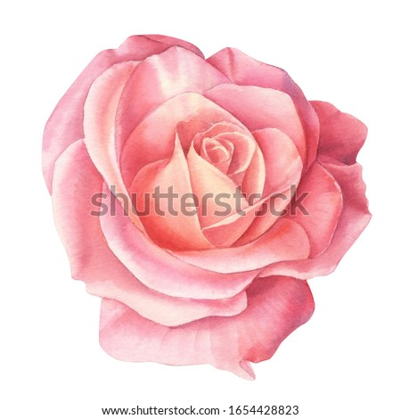 Watercolor Coral rose flowers, isolated on white background #1654428823
