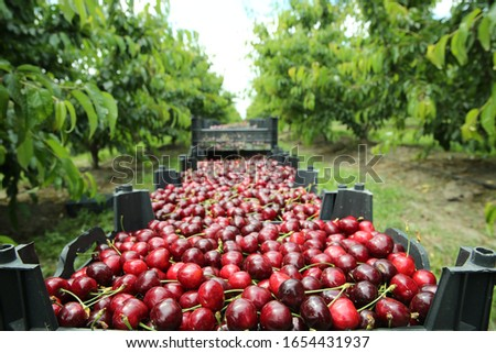 Picking cherries in the orchard . Boxes of freshly picked lapins cherries. Industrial cherry orchard. Buckets of gathered sweet raw black cherries . Close-up view of green grass and boxes full  #1654431937