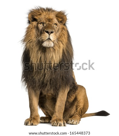 Lion sitting, looking away, Panthera Leo, 10 years old, isolated on white Royalty-Free Stock Photo #165448373