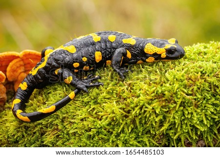 Adult fire salamander, salamandra salamandra, lying on green moss and fungi in Slovak nature. Vivid green wildlife scenery with a amphibian creature resting.
