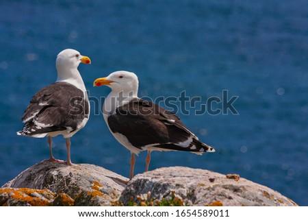 Great black-backed gulls (Larus marinus) standing on rocks looking out to blue sea North Atlantic ocean. Two seabirds largest gulls at Irish coast, Saltee Islands, Ireland, Europe Royalty-Free Stock Photo #1654589011