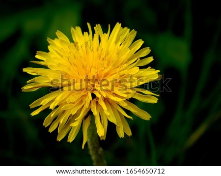 Yellow dandelion flower in the grass close-up macro photography. Spring bloom. The first flower.