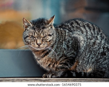 Well fed fat cat sitting near the door of the grocery store. Royalty-Free Stock Photo #1654690375