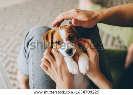 Adorable puppy Jack Russell Terrier in the owner's hands. Portrait of a little dog.  #1654708225