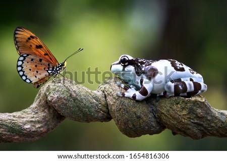 Amazon milk frog on branch, two amazon milk frog, panda tree frog, closeup tree frog Royalty-Free Stock Photo #1654816306