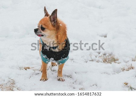 little brown chihuahua in blue jumpsuit walks in the winter in the snow