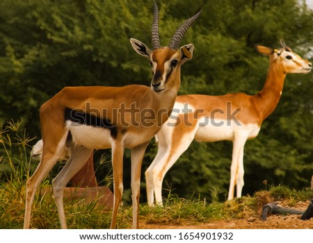 Dama Gazelle posing for a picture in a zoo.