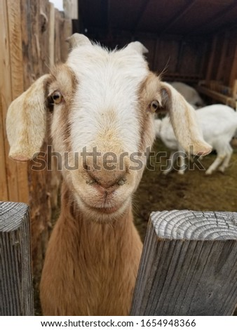 This is a picture of a farm goat looking at the camera. The goat is from a local farm in Lewisville Idaho.