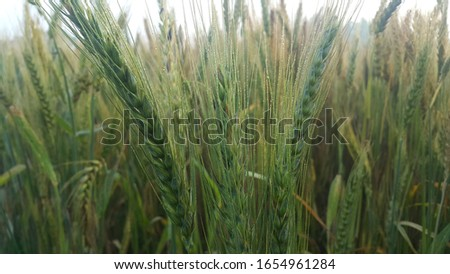 Closeup view of barley spikelets or rye in barley field. Green dried barley focused in large agricultural rural wheat field. #1654961284