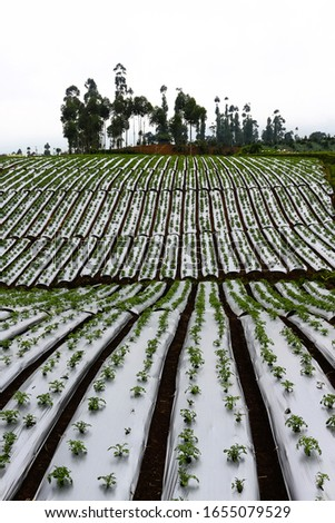 tomato plantation, seeds grow at plantations tomatos #1655079529