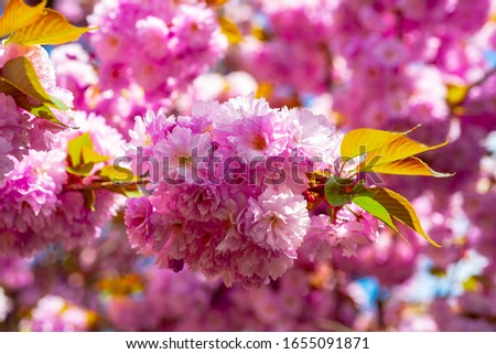 Branches of blossoming sakura on sky background. Cherry Blossoms Trees #1655091871