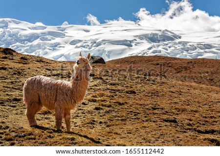 Picture of a lama in front of a glacier at Ausangate mountain, Peru.