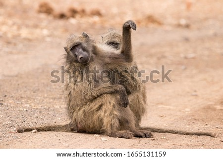baboons grooming on the road #1655131159