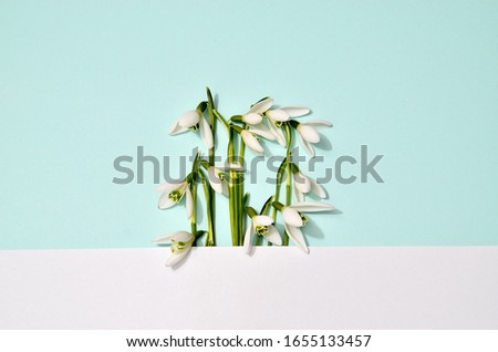 Spring snowdrops pattern. Snowdrops flowers with white stripe in the middle of picture on trendy mint blue background. Fashion photography for your design, tender pastel colors tones, place for text #1655133457