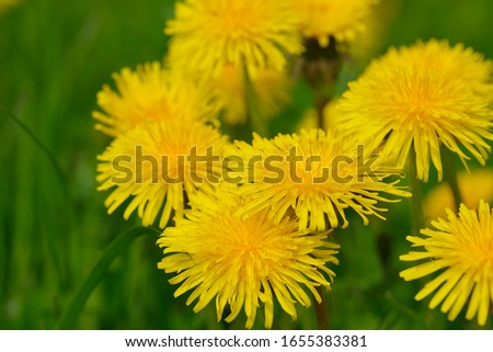 Blossom from dandelions in spring on a meadow #1655383381