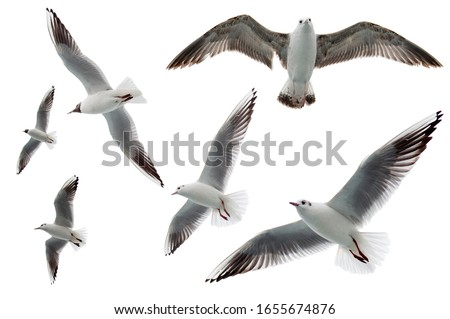 Set of seagulls flying isolated on white background. Birds collection isolated on white. Group of sea gulls Royalty-Free Stock Photo #1655674876