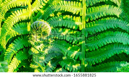 Close up photo on fern leaves - older leaves are straight and younger shots curly shaped, new life at sunny spring day, very fresh green color (Polypodiophyta). Plants in garden. #1655881825