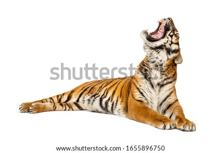 Tiger lying down and yawning, big cat, isolated on white